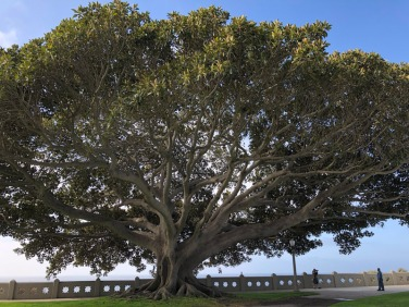 Magnificent magnolia tree at Point Fermin